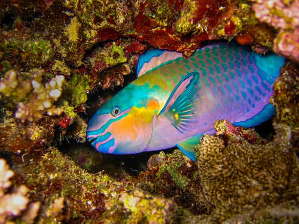 source: https://www.istockphoto.com/photos/parrotfish?sort=mostpopular&mediatype=photography&phrase=parrotfish