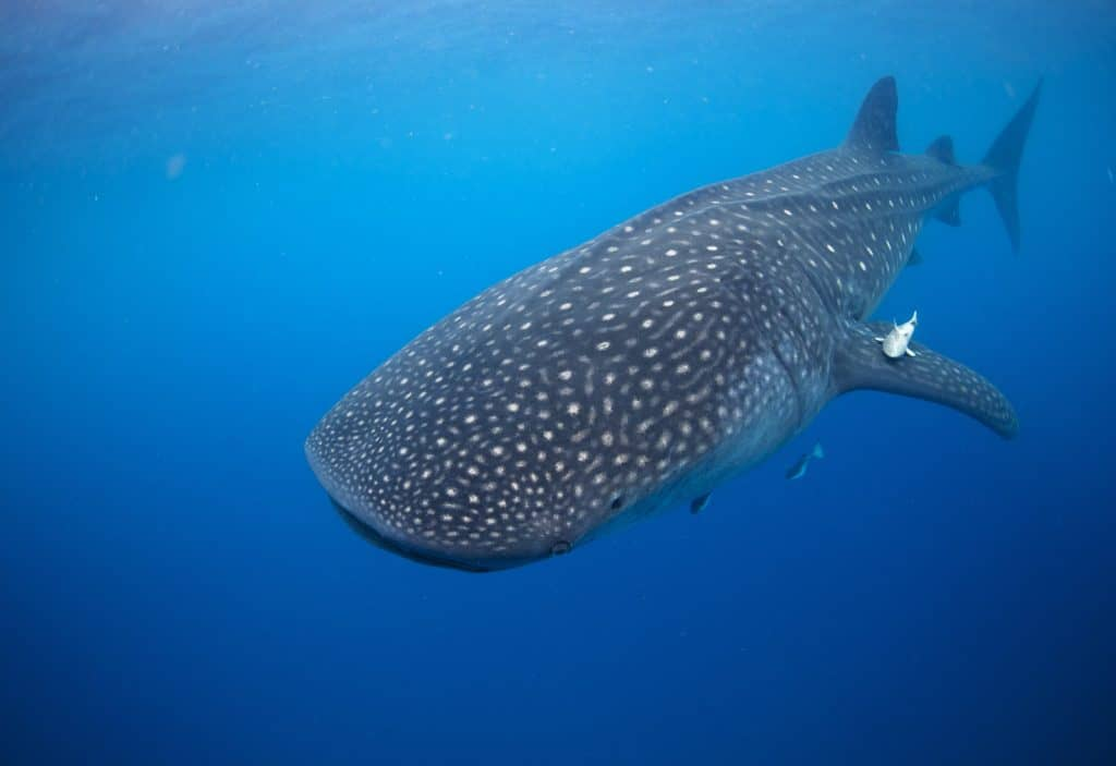 source: https://www.lonelyplanet.com/travel-tips-and-articles/the-best-places-to-swim-with-whale-sharks/40625c8c-8a11-5710-a052-1479d277a6ca