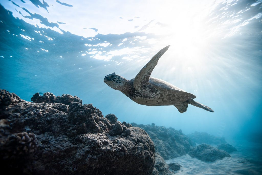 great barrier reef source: https://www.pexels.com/photo/photo-of-sea-turtle-2765872/
