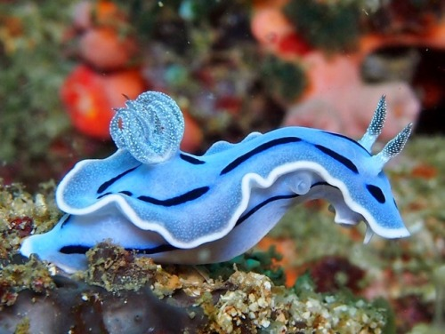 blue nudibranch